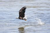 Shot # 3 in a series of an adult Bald Eagle (haliaeetus leucocephalus) catching a fish poster
