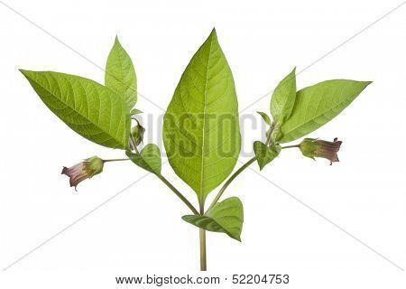 Poisonous Belladonna plant on white background
