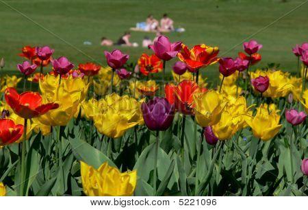 Tulip Sunbathers
