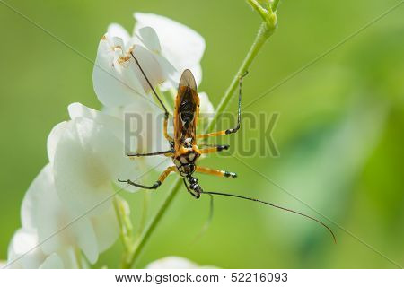 Yellow, Black And White Assassin Bug From West Africa