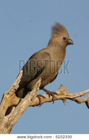 The Grey Go-Away-Bird Lourie resting in a perch Kruger National Park poster