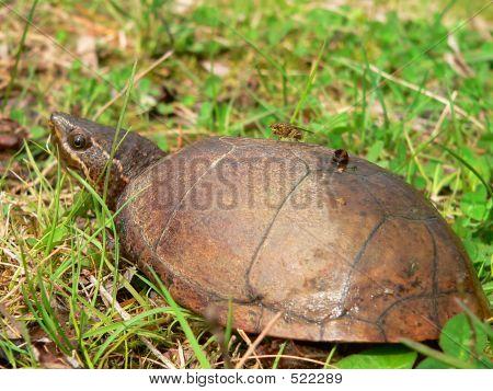 Stinkpot Musk Turtle 02