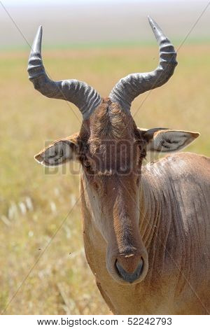 Portrait Of A Hartebeest