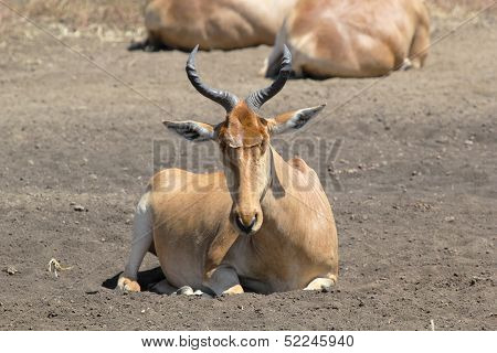 Resting Hartebeest