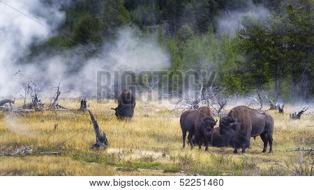Feeding Bison In Yellowstone's Geyser Basin