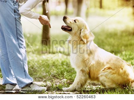 Golden Retriever outdoor training process