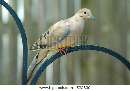 Perched Dove