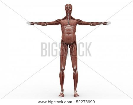 male muscular system - anterior view
