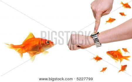 Goldfish Late For Work