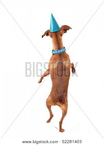 a miniature pinscher looking up with a party hat on