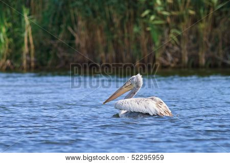 Dalmatian Pelican (Pelecanus crispus) in the Danube Delta Romania poster