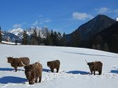 nature scene with cow animal at winter with snow  mountain landscape in background poster