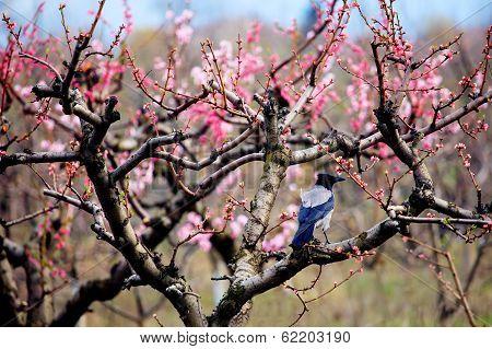 Crow In Spring Garden