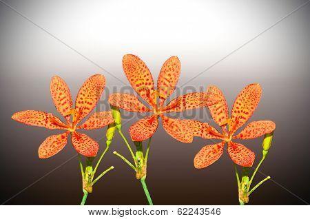 Black Berry Lily
