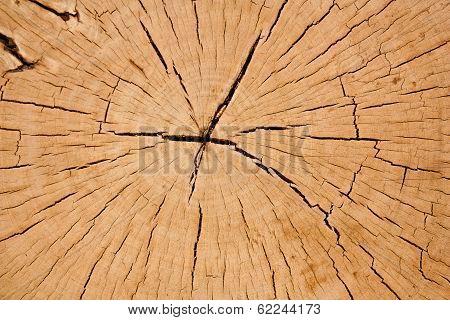 Close up cross section tamarine tree stump poster