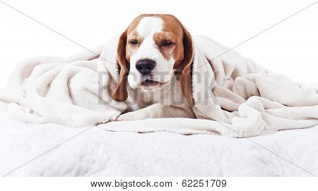 Very much sick dog under a blanket isolated on white poster