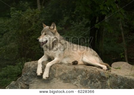 Growling Great Plains Wolf