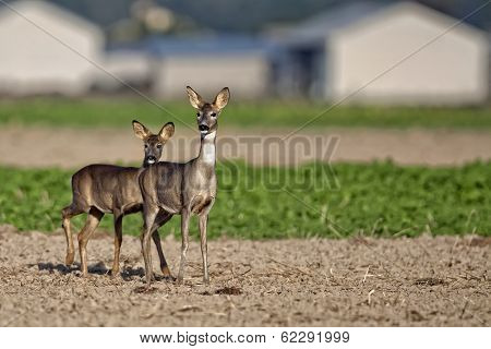 Roe-deer with young in a clearing, in the wild poster
