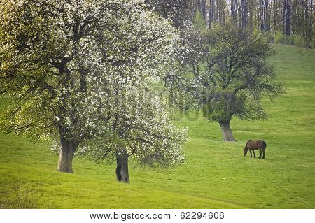Horse grazing on a green meadow in spring with trees in bloom poster