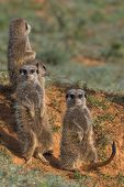 Meerkat Family warming up in the morning sun poster