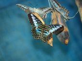 Exotic blue butterflies of Thailand, island Phuket poster