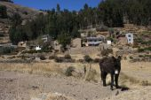 Donkey in a village near Titicaca lake poster