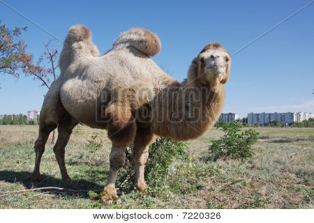 Camel on the background of a bright blue sky poster