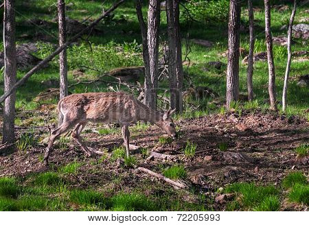 White-tailed Deer (odocoileus Virginianus) Grazes In Woody Area
