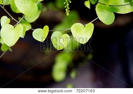 Heart Shaped Leaves Closeup.
