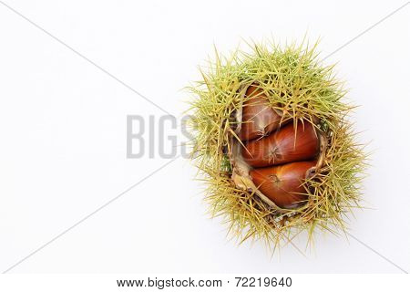 closeup of fresh chestnuts bur on white background poster