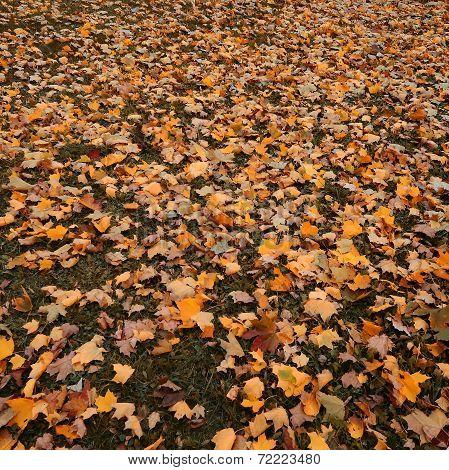 Beautiful Autumn Leaf Fall