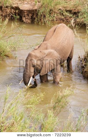Single African elephant standing in the river drinking water poster