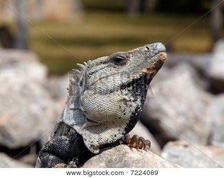 Iguana Threatens