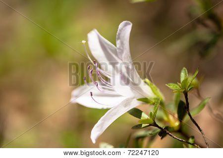 White azalea in Japan