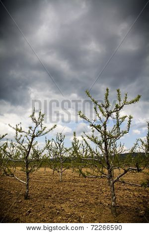Stormy Orchard