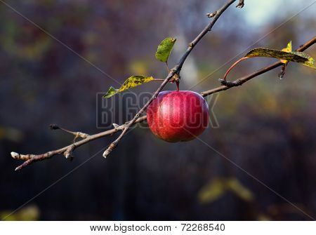 Ripe Red Apple With Drops On The Tree
