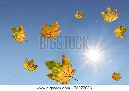 Dancing Autumnal Maple Leaves And Bright Sunlight, Blue Sky