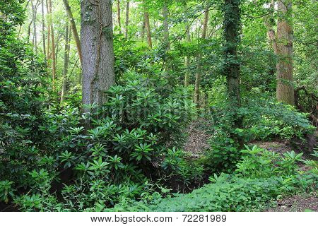 Woodland With Rhododendrons