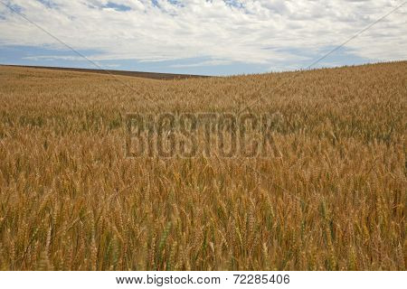 Wind Through Wheat Field