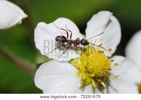 an ant is sitting on a white flower bloom forest strawberry in the spring poster