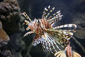 Lion Fish Close up (note: image is slightly grainy due to low light condition.) poster