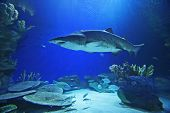 Sand Tiger Shark (note: image is slightly grainy due to low light condition.) poster
