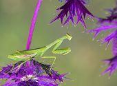 Praying mantis (mantis religiosa) on purple Eryngo wildflower poster