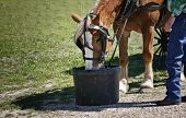 Working horse in harness drinking water on green background. poster