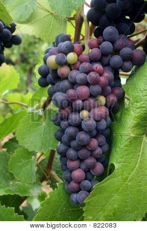 Ripening Grape Cluster