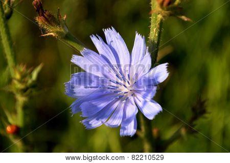Pretty blue Chicory flower - Chicory (Cichorium intybus)