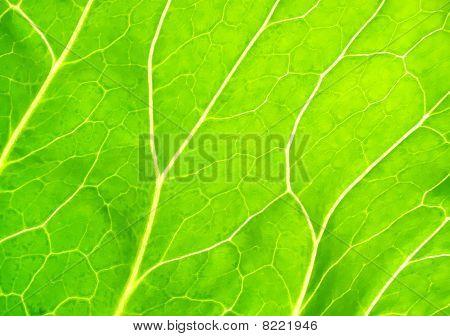 Transparent Sheet Of A Plant
