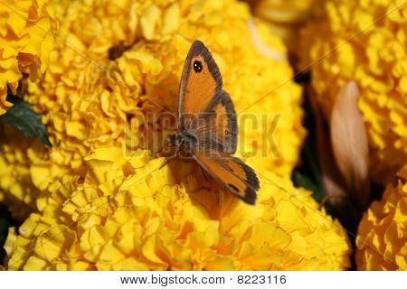 Gatekeeper Butterfly Feeding