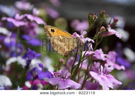 Gatekeeper Butterfly Resting In The Sun