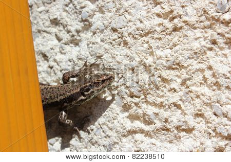 European Wall Lizard - Close View